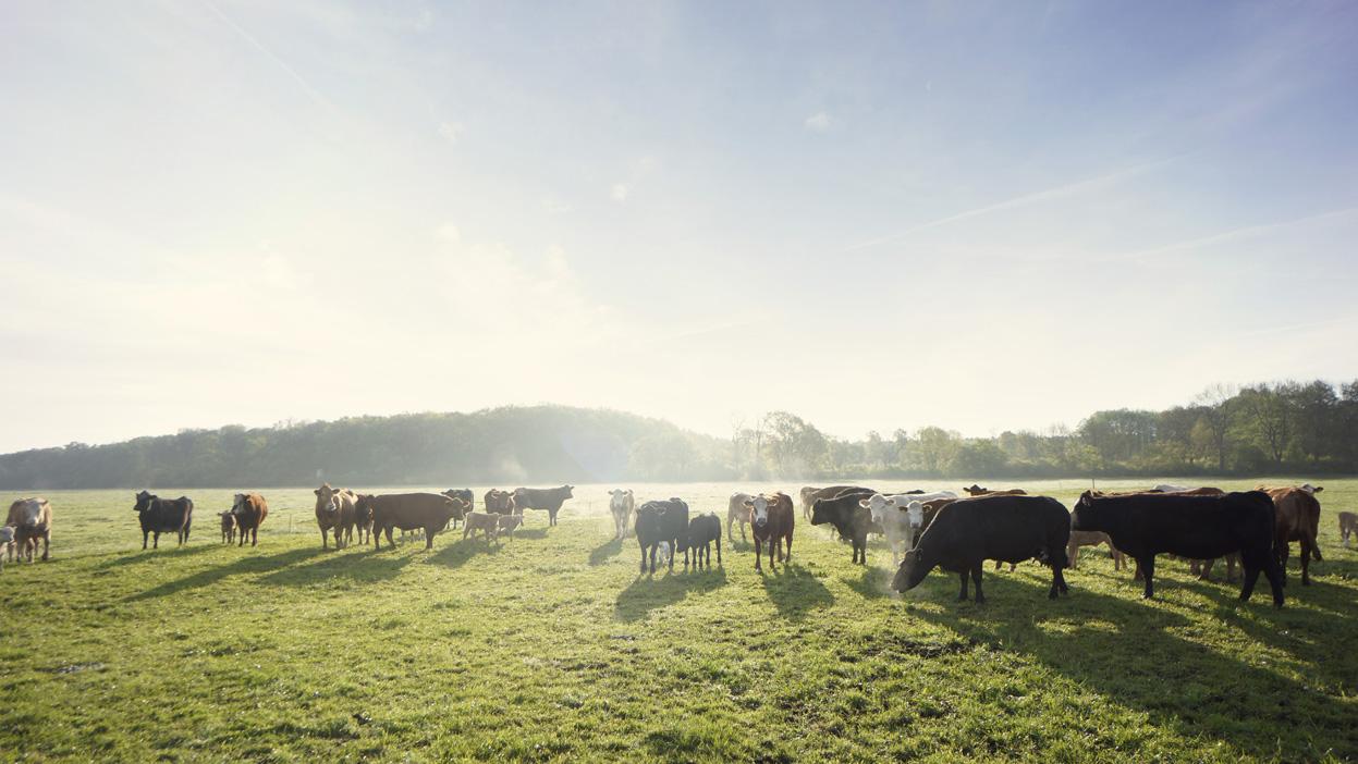 BioBoden Kühe auf Weide