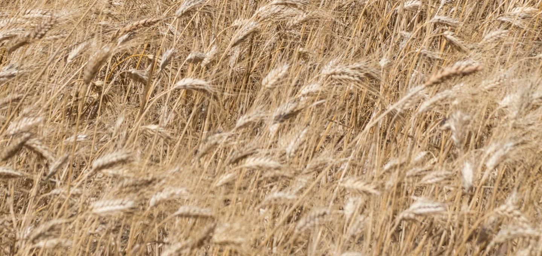 Saatgut Getreide