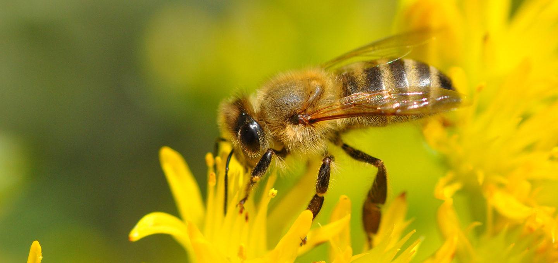 Bessere Pestizidkontrolle für die Bienen