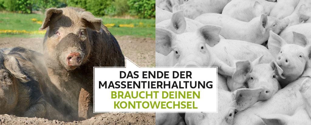 Freiland-Schweine