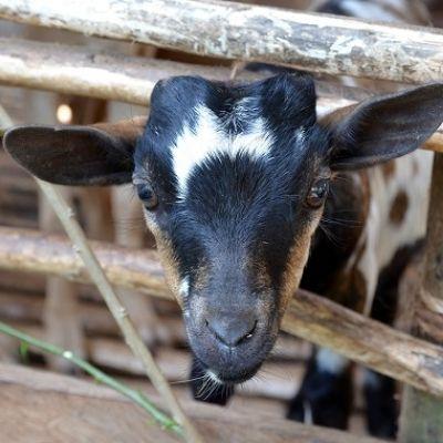 Anders Schenken. Eine Milchziege als Geschenk / Mit dieser Geschenkspende erhält eine Kleinbauerfamilie in Kenia eine Milchziege